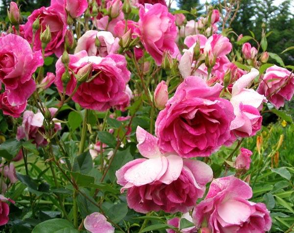 Carpet Flower Roses