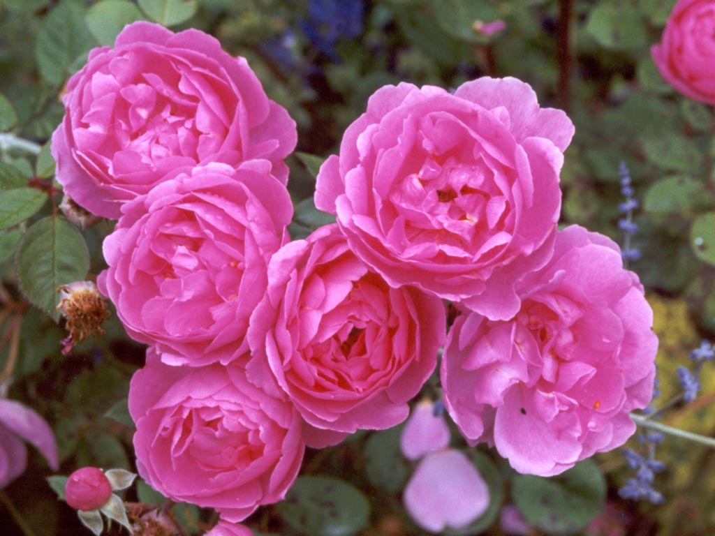 Beautiful Flowers Rose Pink