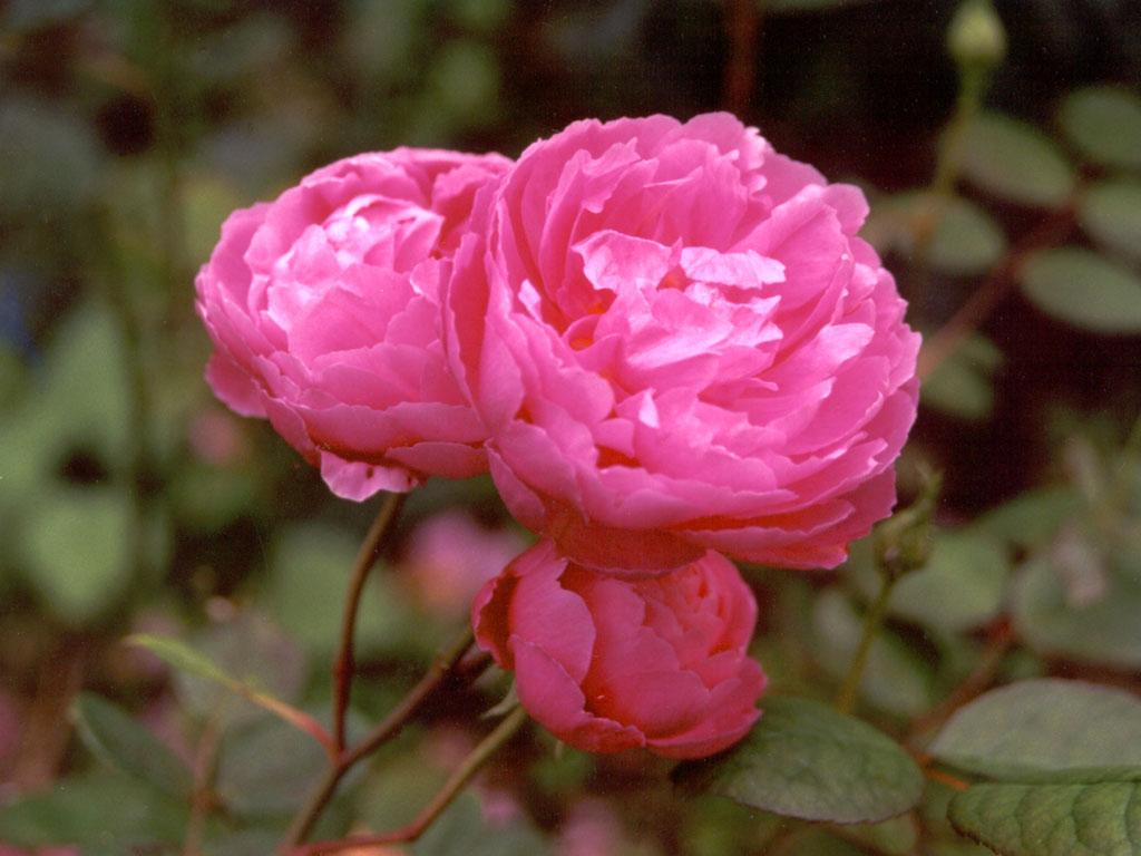 Rose David I Biography