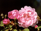 Rose Bloom Pink