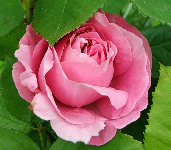 roses, Beautiful flower