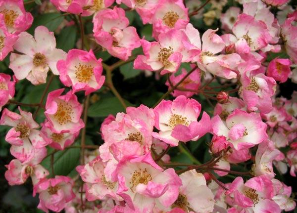 rose flowers images. rose flowers ballerina