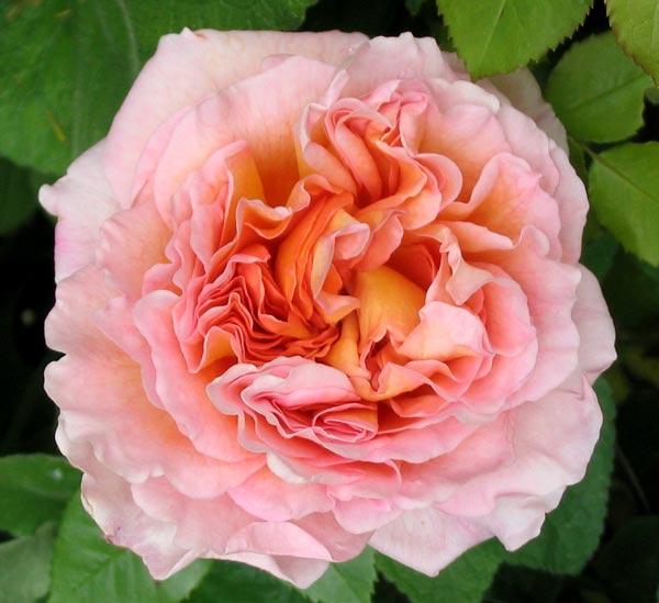 abraham-darby-rose
