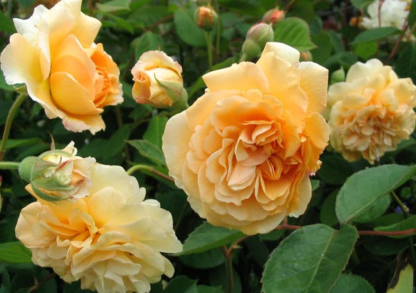 http://images.mooseyscountrygarden.com/roses/rose-garden/buff-beauty-rose-flower.jpg