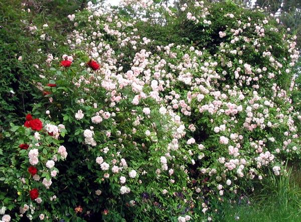 http://images.mooseyscountrygarden.com/roses/rose-garden/cecil-brunner-climbing-rose.jpg