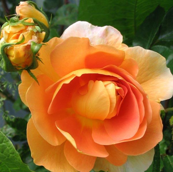charles austin rose flower
