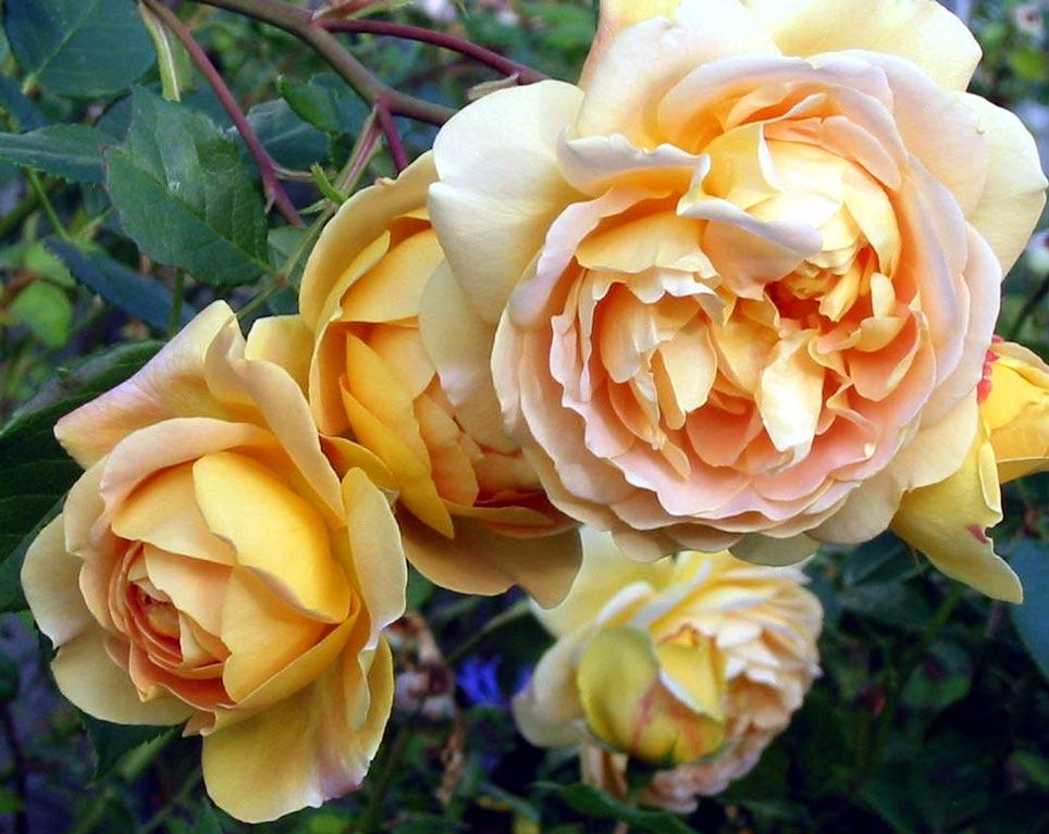 golden rose winners