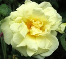 Agnes Rugosa Rose Flower