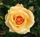 Apricot Scentasia Rose