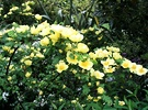 Canary Bird Shrub Rose