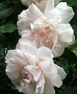 Climbing Roses Pale