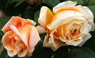 Crown Princess Roses