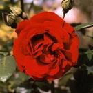 dublin bay red rose