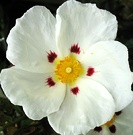 Flower Cistus Closeup