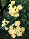 Flowers Banksia Rose