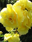 Friesia Shrub Rose