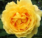 Golden Celebration Rose Flower