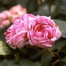 Honorine De Brabant Rose