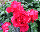 Marsellaise Red Rose