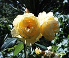 Molinieux Yellow Rose