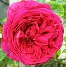 Othello Rose