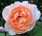 Peachy Rose Pastel