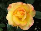 Rose Solitaire Yellow