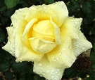 Rose Yellow Mcgredy
