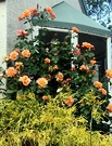 Roses Westerland House