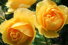 Roses Yellow English