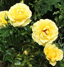 Roses Yellow Ivey
