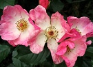Rosy Cushion Rose