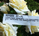 Royden Label Rose