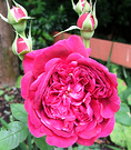 Shakespeare Rose Red