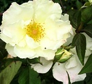 Sparieshoop White Rose