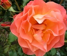 Westerland Rose Closeup