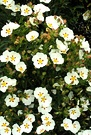 White Cistus Shrub
