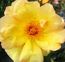 Windrush Rose Close