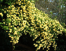 Yellow Roses Banksia