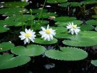 3 Water Lillies