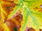 Autumn Leaf Closeup