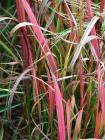 Colourful Grasses