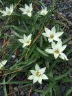 Ipheion Sessile