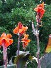 Red Canna Flowers