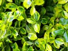 Lime Green Foliage