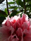 Pink White Rhododendron Sun Light