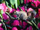 Rhododenodron Squirrel