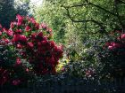Shady Rhododendrons
