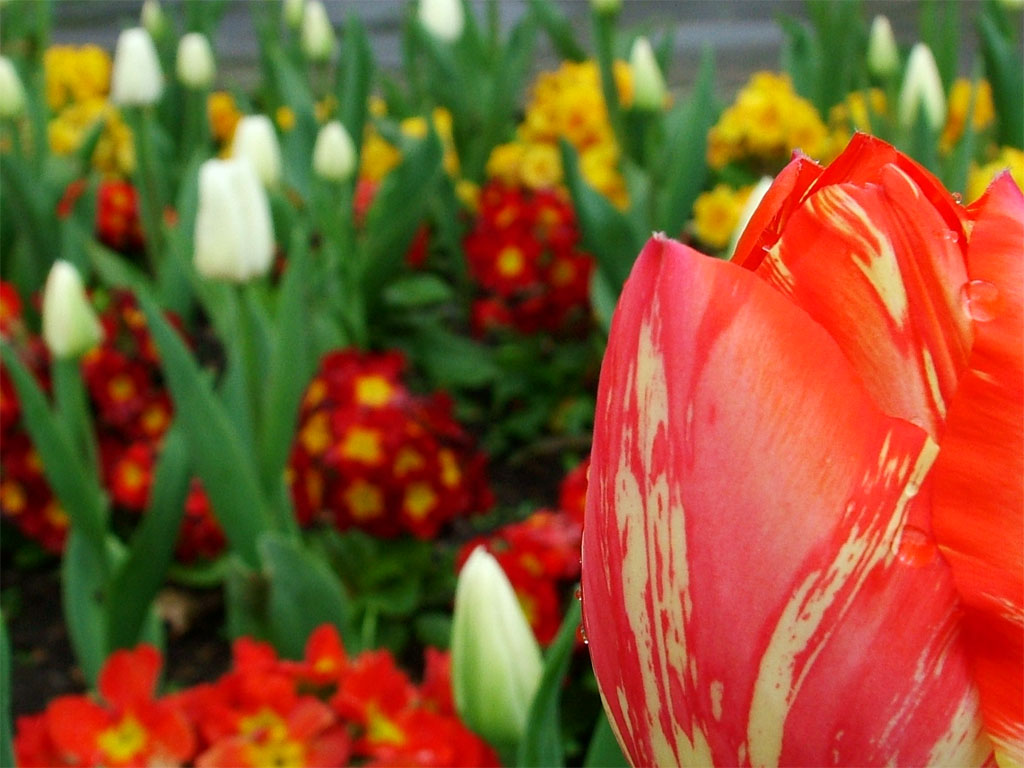tulips in the spring - photo #15