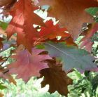 Oak Leaves Autumn
